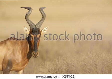 A Red Hartebeest looking at the camera, Kgalagadi Transfrontier Park, Northern Cape Province, South Africa - Stock Photo