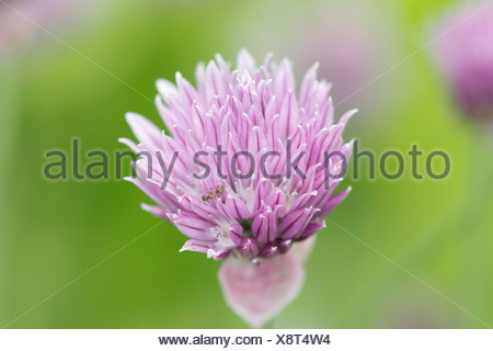 Close up of a pink chive flower - Stock Photo
