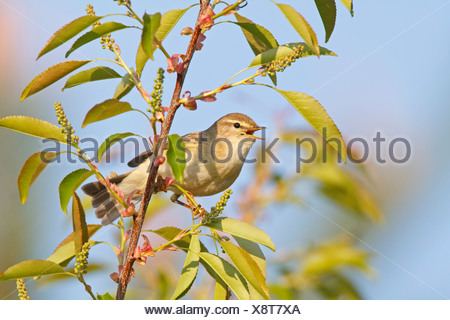 Willow Warbler (Phylloscopus trochilus) perching on branch - Stock Photo