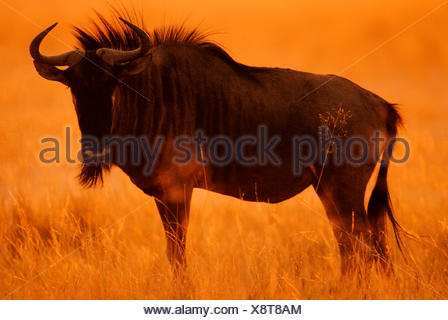 Blue Wildebeest or Brindled Gnu (Connochaetes taurinus taurinus) at sunrise, Etosha National Park, Namibia - Stock Photo