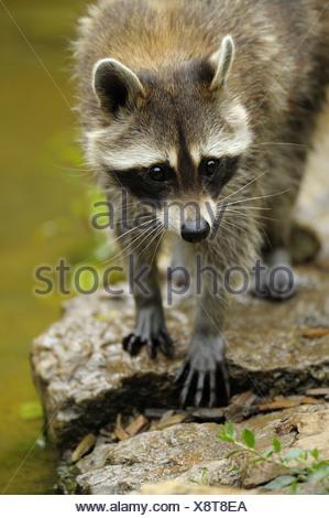 common raccoon (Procyon lotor), standing on rock, Germany - Stock Photo