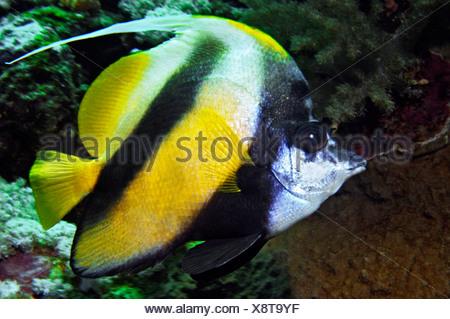 Middle East Egypt Red Sea, Longfin bannerfish, Heniochus acuminatus - Stock Photo