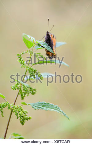 small tortoiseshell (Aglais urticae, Nymphalis urticae), laying eggs on a nettle, Germany - Stock Photo