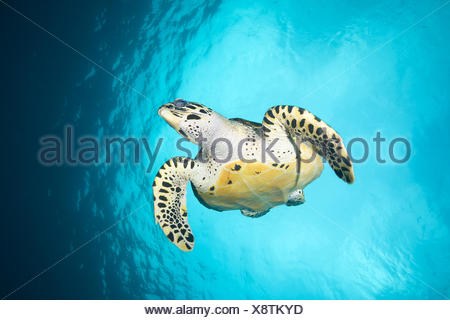 Hawksbill sea turtle swims in waters off the Philippines. - Stock Photo
