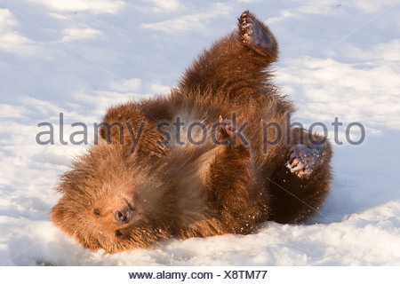 CAPTIVE: Female Kodiak Brown bear rolls in the fresh snow at the Alaska Wildlife Conservation Center, Southcentral Alaska - Stock Photo