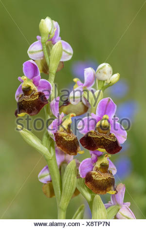 Late spider orchid (Ophrys holoserica), Lechauen, Bavaria, Germany - Stock Photo