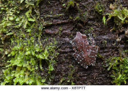 A cinnamon tree frog, Nyctixalus pictus, on the side of a tree. - Stock Photo
