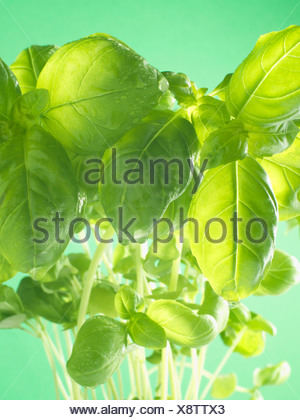 Basil leaves - Stock Photo