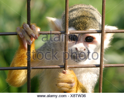 A squirrel monkey in a caged, looking out from behind bars.