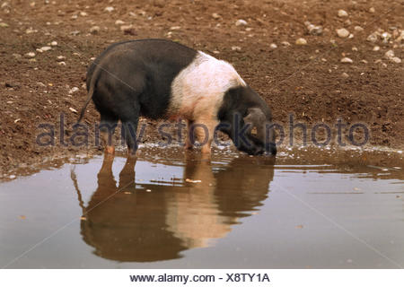 Angeln Saddleback (Sus scrofa f. domestica), drinking in a pond - Stock Photo