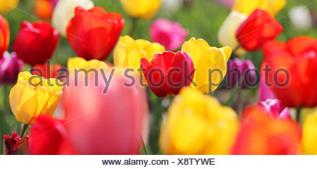 blooming spring tulips - Stock Photo