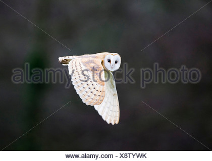 Barn Owl Tyto alba hunting over meadow North Norfolk winter - Stock Photo