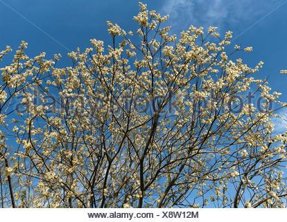 Flowering willow catkin (Salix spec.), Blue sky, Bavaria, Germany - Stock Photo