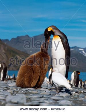 King Penguin  - Stock Photo