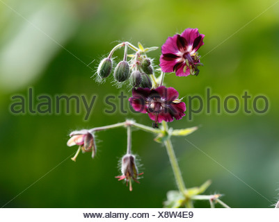 Dusky Cranesbill or Mourning Widow (Geranium phaeum) - Stock Photo