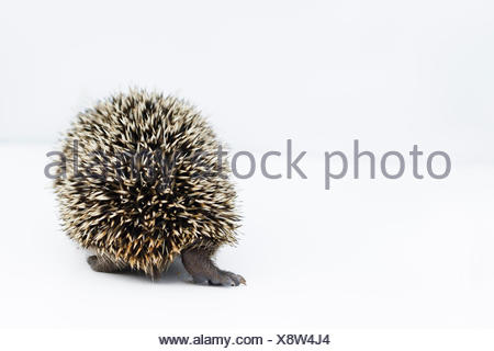 Hedgehog (Erinaceus europaeus) rear view young orphan at rescue centre captive - Stock Photo