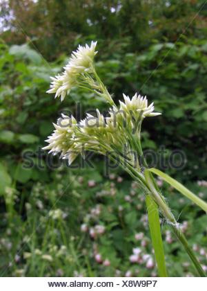 Snowy Woodrush (Luzula nivea), inflorescence - Stock Photo