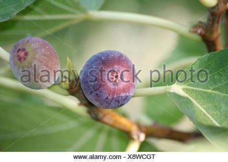 fruit mediterran figs - Stock Photo