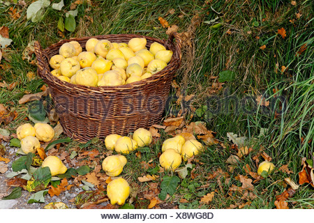 Quinces harvest in a basket - Stock Photo