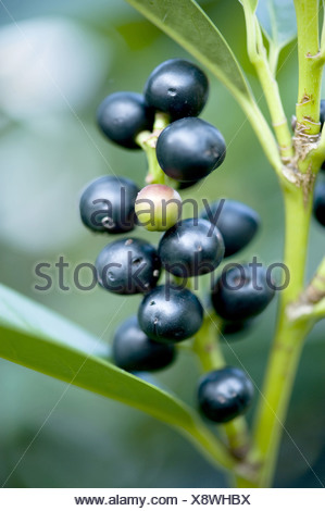 cherry laurel, prunus laurocerasus - Stock Photo