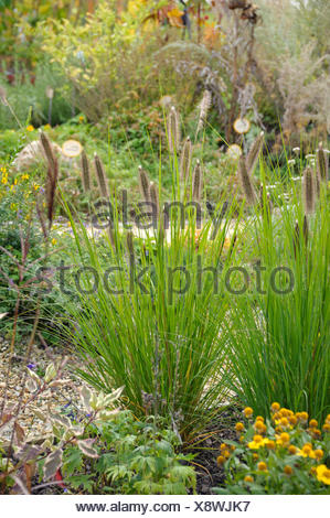 fountain grass (Pennisetum alopecuroides 'Herbstzauber', Pennisetum alopecuroides Herbstzauber), cultivar Herbstzauber, blooming, Germany, Saxony - Stock Photo