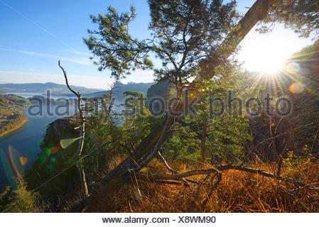Scotch pine, Scots pine (Pinus sylvestris), trees growing on a mountain near lake Mondsee in autumn, Austria, Upper Austria - Stock Photo