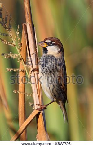 Spanish sparrow (Passer hispaniolensis), male sitting at a reed stem, Spain, Extremadura - Stock Photo
