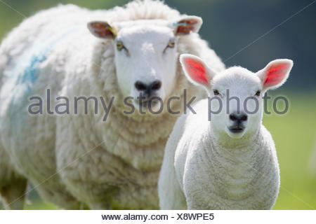 Portrait of sheep and lamb, focus on foreground - Stock Photo