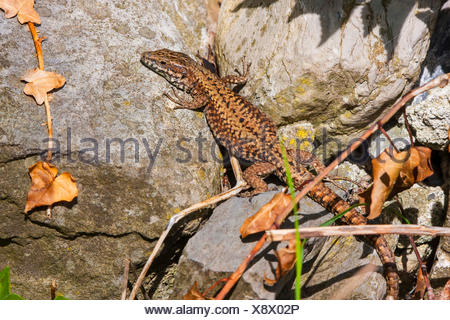 common wall lizard (Lacerta muralis, Podarcis muralis), sunbathing between stones in the early morning, Switzerland, Grisons - Stock Photo