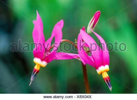 Alaska. Eklutna. Frigid Shooting Star (Dodecatheon frigidum). - Stock Photo