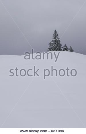 snowy hill, small spruce group, snowfall, fog - Stock Photo