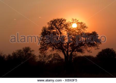 Tree silhouette against the sunset, Hwange National Park, Zimbabwe, Africa - Stock Photo