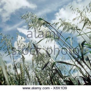 Wild oats Avena fatua panicles against sky clouds - Stock Photo