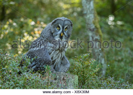 Great grey owl (Strix nebulosa), captive, Vulkaneifel, Germany - Stock Photo