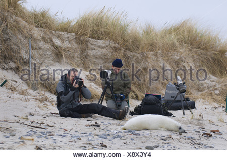 gray seal (Halichoerus grypus), two nature photographers with a young Gray Seal, Germany, Schleswig-Holstein, Heligoland - Stock Photo