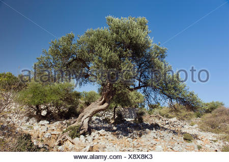 Old Olive Tree (Olea europaea) in Lun, Pag Island, Adriatic Sea, Gulf of Kvarner, Croatia, Europe - Stock Photo