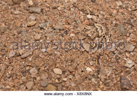 Texas Horned Lizard, Phrynosoma cornutum, Arizona, USA - Stock Photo
