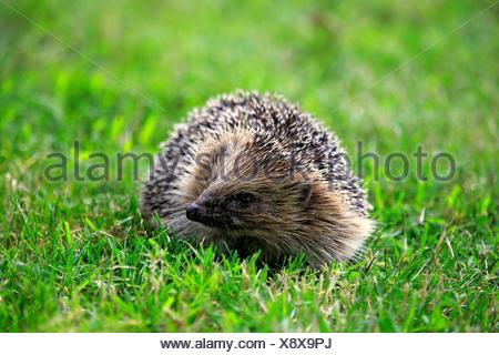 Western Hedgehog, Surrey, England, Europe / (Erinaceus europaeus) - Stock Photo