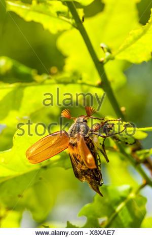 Chestnut Cockchafer (Melolontha hippocastani), taking off, Burgenland, Austria - Stock Photo