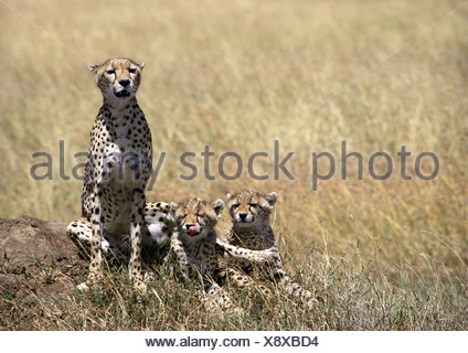 East African Cheetahs (Acinonyx jubatus raineyii), mother and two cubs, sitting in grassland savannah - Stock Photo