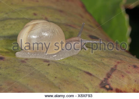 White-lipped Snail (Cepaea hortensis) without banding, Baden-Württemberg, Germany - Stock Photo