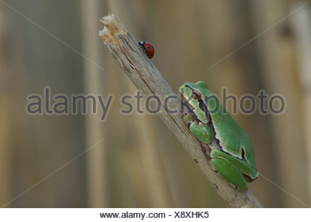 Austria, Europe, Burgenland, amphibian, Hylianea, European tree frog, tree frog, frog, Hyla arborea, reed - Stock Photo