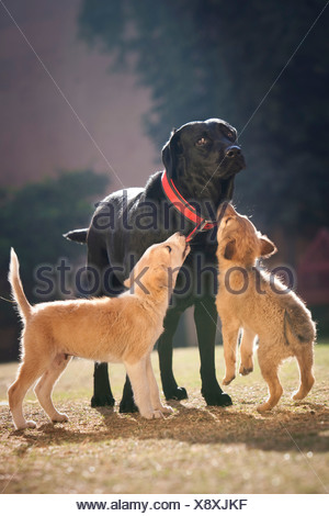 dog and two puppies - Stock Photo