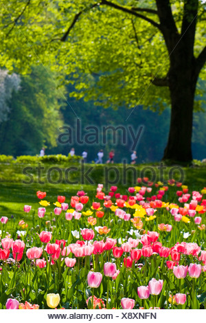 common garden tulip (Tulipa gesneriana), tulip garden in the Klosterwiese jogger in the background, Germany, Baden-Baden - Stock Photo