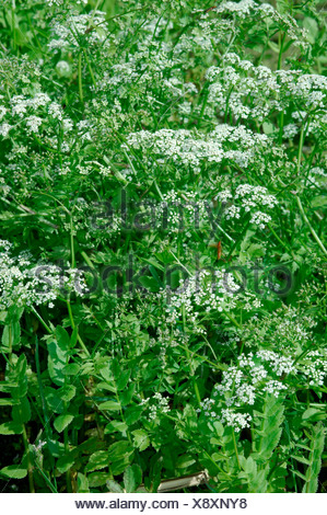 LESSER WATER-PARSNIP Berula erecta (Apiaceae) - Stock Photo
