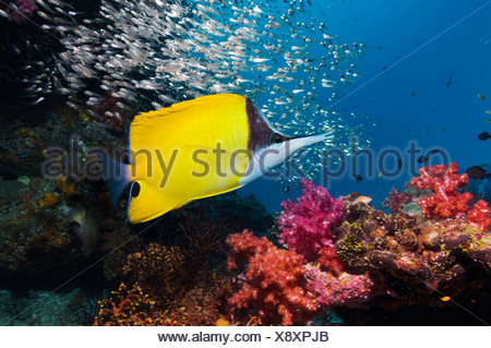Long-nosed butterflyfish over coral reef scenery with soft corals. Andaman Sea, Thailand. - Stock Photo