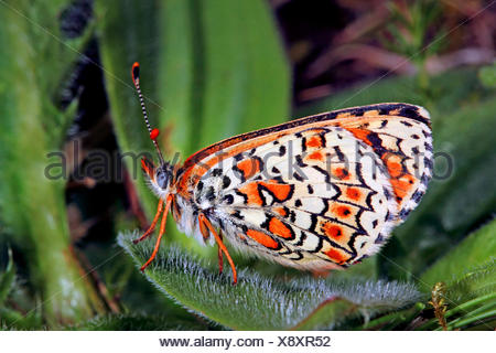 Glanville fritillary (Melitaea cinxia, Mellicta cinxia), on a leaf, Germany - Stock Photo