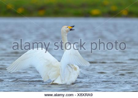 Whooper swan (Cygnus cygnus), flapping wings, Southern Region, Iceland - Stock Photo