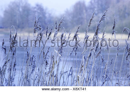 Reed grass, frost, detail, outside, grass, ice, hoarfrost, froze, lake, winter, shore, pond, grass, reed, cold, water, nature, plants, lakesides, pond shores, waters, icily, frosty, - Stock Photo