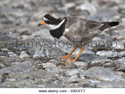 Ringed plover on old shore. South Uist, Outer Hebrides, Scotland - Stock Photo
